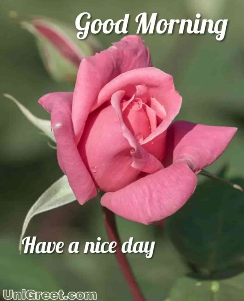 Good morning have a nice day with beautiful rose