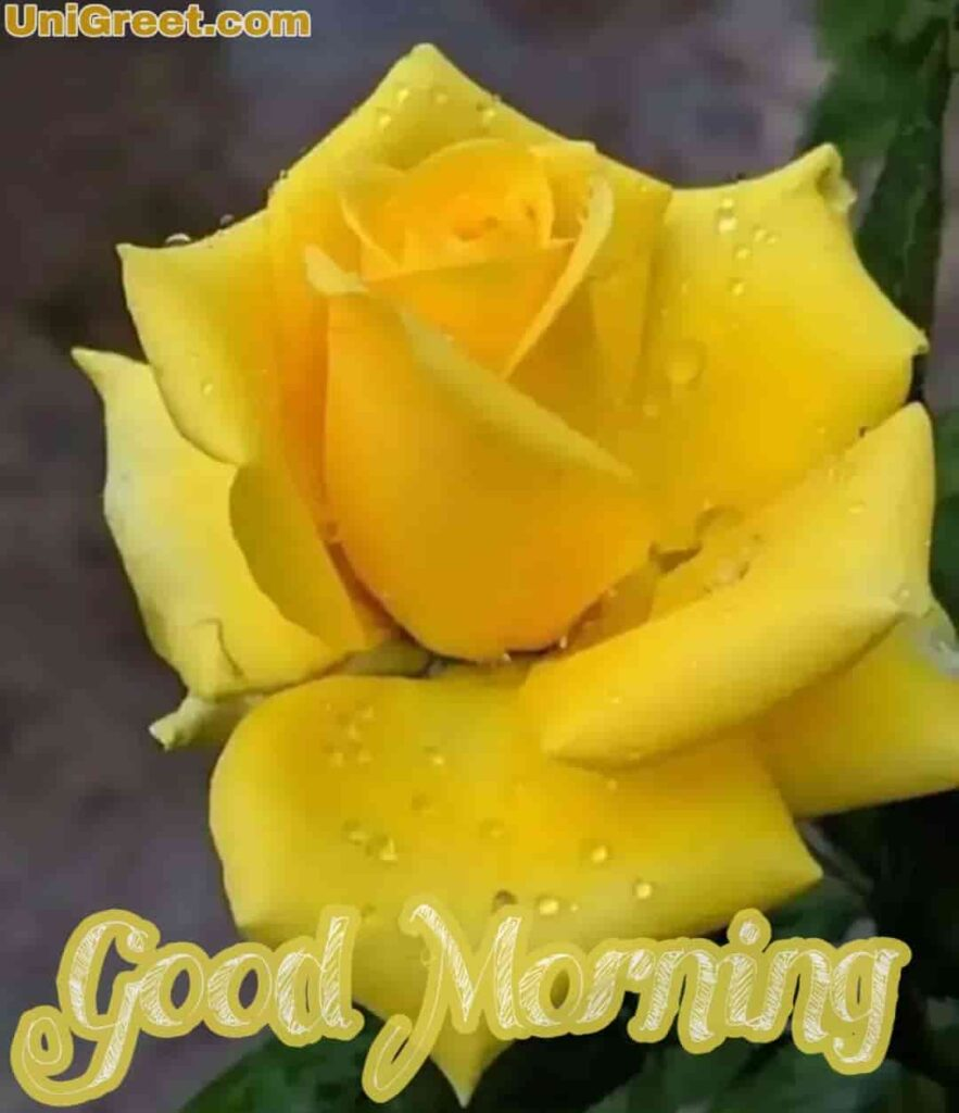 Yellow rose good morning pic